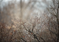 1/17/16 Pearls of Rain (Karol A Olson) Tags: trees snow nature wet rain jan16 116picturesin2016 project3662016 81naturesjewelsornaturesmiracles