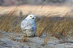 Snowy Owl in MIddle of Meal (donna lynn) Tags: winter newyork nikon january owl nys p90 snowyowl 2016 nassaucounty buboscandiacus familystrigidae orderstrigiformes
