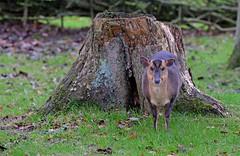 Small deer (Wildlife Online) Tags: animal mammal wildlife bedfordshire deer whipsnadezoo muntjac cervidae barkingdeer muntjacdeer muntiacus muntiacusreevesi reevesmuntjacdeer britishdeer ukdeer marcbaldwin wildlifeonline introduceddeer invasivedeer