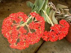 Merry Christmas, Everyone! (rstickney37) Tags: crassulaceae dukegardens crassula crassulafalcata