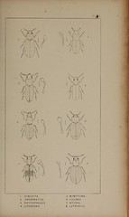 n160_w1150 (BioDivLibrary) Tags: greatbritain insect bugs beetles arthropoda californiaacademyofsciences coleoptera taxonomy:order=coleoptera colorourcollections bhl:page=39306956 dc:identifier=httpbiodiversitylibraryorgpage39306956 bhlarthropod