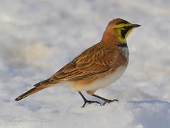 Horned Lark (twbjr1969) Tags: winter snow explore lark horned