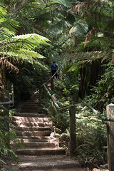 steps (tommy kuo) Tags: travel mountain green nature grass stairs trek landscape leaf student track walk steps melbourne victoria dandenong ranges amateur 1000 thousand 1000steps