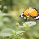 """Oranje vlinder <a style=""""margin-left:10px; font-size:0.8em;"""" href=""""http://www.flickr.com/photos/62259267@N04/24192056553/"""" target=""""_blank"""">@flickr</a>"""