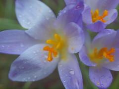 krokusse bei leichtem Regen sP2077214 (hans 1960) Tags: flower nature fleur rain yellow colours rainyday outdoor natur blossoms gelb rainy raindrops regen regnerisch farben krokuss regentropfen