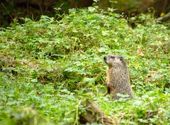 Popup Groundhog (Bander) Tags: nature wildlife woodchuck groundhog