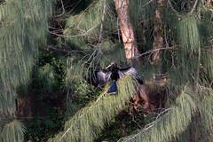 20160131-_74P3840.jpg (Lake Worth) Tags: bird nature birds animal animals canon wings florida wildlife feathers wetlands everglades waterbirds southflorida birdwatcher canonef500mmf4lisiiusm