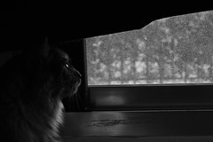 Waiting for the sun... (mostaphaghaziri) Tags: white snow black window look cat out outside looking smoke siberian d7200 nikond7200