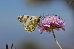 Foto 28-5-15 12 40 08 (visnuh) Tags: insectos macro butterflies insects mariposas pieridae euchloecrameri lepidopteros pieridos canoneos600d canon100mm28macro