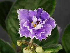 P1312382_DxO (Vladimir V. Samoylov) Tags: flowers african violet olympus 100mm africanviolet omd saintpaulia 100mmf28 m43 samyang micro43 43 microfourthirdsmicro43 em5markii samyang100mmf28edumcmacro