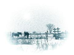 Derrire la grange (Amiela40) Tags: horse barn countryside hiver campagne ferme chevaux