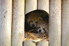 Red Pandas, Dudley Zoo (neilsimpson515) Tags: animals zoo nikon redpanda dudley westmidlands redpandas dudleyzoo nikon28300 nikond7000