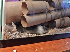 DSCN1450 Alice excavating the Mothership (therovingeye) Tags: pets gerbil smallanimals gerbilhabitat