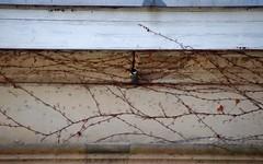 Weinmeise (simon_diet) Tags: virginia major tit great creeper wilder wein parthenocissus parus kohlmeise tricuspidata