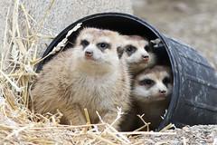 Meerkats in a bucket
