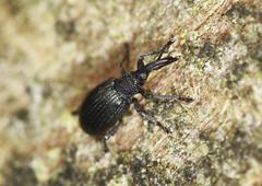 Weevil (3mm) (Prank F) Tags: macro nature closeup insect wildlife beetle weevil wildlifetrust glapthorncowpastures northantsuk