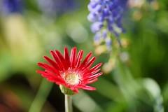 ()/Gerbera jamesonii (nobuflickr) Tags: garden botanical was kyoto taken   africandaisy the transvaaldaisy  gerberajamesonii  photo   20160211dsc00956