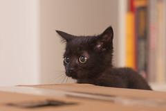 IMG_3072 (BalthasarLeopold) Tags: pet cats pets animal animals cat blackcat mammal kitten feline dof kittens felines blackcats indoorcat dephtoffield scratchpost