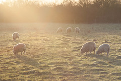 DSC02316 (JSpacagna) Tags: morning england plants sun nature water animals landscape canal sheep wildlife