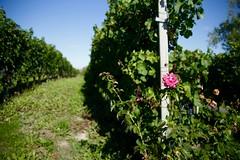 Langhe, Piemonte (--Eli--) Tags: wine alba rosa natura piemonte bianca uva settembre vigne barbaresco vino barolo vendemmia barbera langhe rossa viti roero nebbiolo dolcetto enogastronomia vitigni