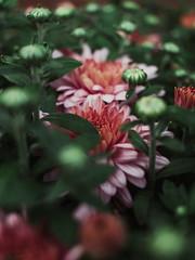 2.23.16 (Josh Meek) Tags: pink summer plant flower macro green nature garden virginia blossom mum 24mm lookslikefilm
