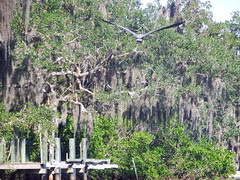Freedom (soniaadammurray - SLOWLY TRYING TO CATCH UP) Tags: trees green love nature birds creek freedom flight diversity spanishmoss thankful care blueheron share digitalphotography reachout boatdock tolerate openspaces liveinharmony