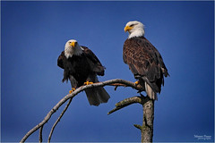 tag team eagles (marneejill) Tags: vancouver creek french island couple pair watching bald perched