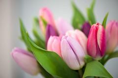 DSC_1792 (pamwright949) Tags: spring dof tulips pinks purples shadesofpink