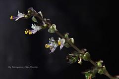 Holy Flowers (Ocimum Tenuiflorum or Basil or Tulasi ) (SAMYAMOY SEN GUPTA -- PHOTOGRAPHY) Tags: plant flower floral photography holy basil medicinal tulsi tulasi