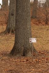 Red oak 8197*A (smrozak) Tags: redoak quercusrubra oakroute suzannemrozak 23feb2016 8197a