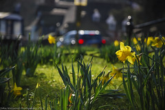 Daffodils (JRT ) Tags: road park flowers trees windows winter red sun sunlight flower building beautiful grass leaves car sunshine fence lights petals spring stem nikon bokeh chocolate background windy naturallight sunny busstop stunning backdrop backlit cadburys daffodils backlighting shallowdepthoffield lowpov bournvillevillage d40x absoluteimages jrwphotography johnwarwood flickrjrt jrwphotographycouk