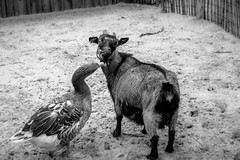 Give me a Kiss (teban974) Tags: bw blackwhite kiss noiretblanc goat goose chevre oie bisous nikond5300 sigma1802500mm