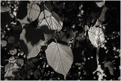 lohne 72 (beauty of all things) Tags: light bw leaves forest licht sw wald bltter lohne