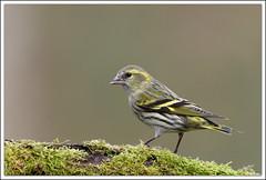 nouvel arrivant (guiguid45) Tags: bird nature nikon oiseaux sauvage eurasiansiskin carduelisspinus loiret 500mmf4 tarindesaulnes d810 passereaux