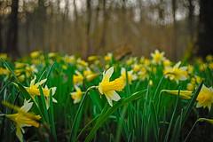 le printemps arrive...!! (vieubab) Tags: nature fleurs jaune plante couleurs hiver vert paysage extrieur sentier fort bois ptale calme joncquilles luminosit sonyflickraward