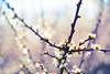 Blackthorn (Nils van Rooijen) Tags: light plant flower spring outdoor lente prunus spinosa