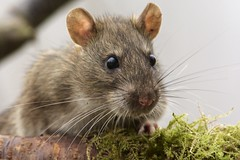 Brown rat, Rattus norvegicus (Ian Mc Farlane) Tags: