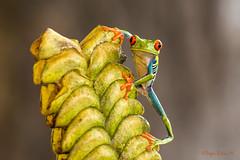 Rana verde de ojos rojos. Red-eyed tree frog (Agalychnis callidryas) (Sergio Bitran M) Tags: costarica sapo rana agalychniscallidryas redeyedtreefrog 2016 anura ojosrojos ranadeojosrojos ranaverdedeojosrojos