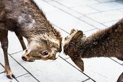 Nara Deer (SMSidat) Tags: travel animals japan asia deer jp nara travelphotography naraken narashi