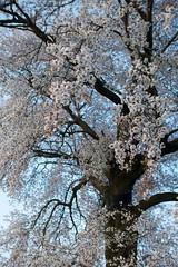 P1010776  (Keishi Etoh rough-and-ready photoglaph) Tags:  miyama flower  panasonic lumix gx7 panasoniclumixgx7 dmcgx7 panasonicdmcgx7 microfourthirds voigtlndernokton25mmf095 voigtlnder cosina 50mm  mf manualfocuslens  primelens fixedfocallengthlens