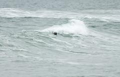 Seal Surfing (Alex_Wyatt_Photos) Tags: uk sea england beach wildlife northumberland seal bamburgh