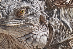 Looking at you. A cute resident of Florida. (beyondhue) Tags: macro eye texture animal close skin florida reptile wildlife lizard iguana scales contact beyondhue