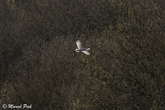 Quackjeswater Oostvoorne (CapMarcel) Tags: nederland oostvoorne spoonbill lepelaar putten voorne quackjeswater