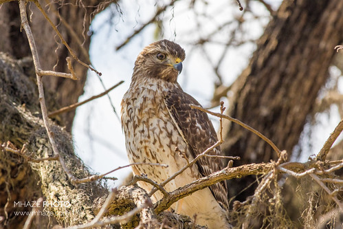 Red-Sholdered Hawk - Immature