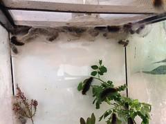 IMG_1105 (J_turner6) Tags: garden tiger moth caja lepidoptera breeding caterpillars care entomology cocoons rearing arctia