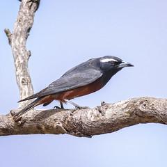 a  white-browed woodswallow (Fat Burns  (gone bush)) Tags: bird fauna australianbird australianfauna woodswallow whitebrowedwoodswallow artamussuperciliosus nikond750 sigma150600mmf563dgoshsmsports sigmatc140114xteleconverternik