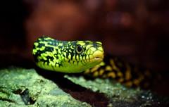 Neon (Keith Mac Uidhir  (Thanks for 3.5m views)) Tags: ireland dublin animal zoo snake irland serpent dier animalia tier dublino irlanda irlande ierland irska schlangen dubln serpentes irlandia lirlanda irsko  airija irlanti  cng  iirimaa ha     rorszg         rlnd
