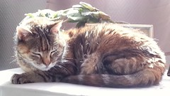 Ppette, my old cat (tonkinoise2012) Tags: cats pets animals chats gatos felines domesticanimals calme intrieur oldcat