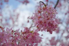 20160306-DSC_6106 (Kay's...) Tags: cherryblossom sakura   wuling wulingfarm