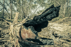 IMG_9912 1 (gaujourfrancoise) Tags: nt australia downunder northernterritory australie kakadunationalpark deadtrees arbresmorts gaujour